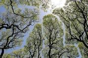 사람보다 나은 소나무…사회적 거리두기는 기본